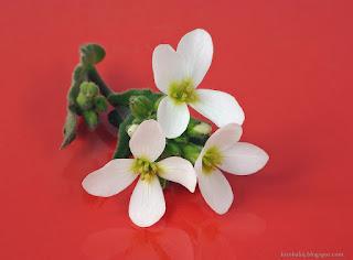 http://fotobabij.blogspot.com/2015/04/gesiowka-alpejska-kwiaty-arabis-alpina.html