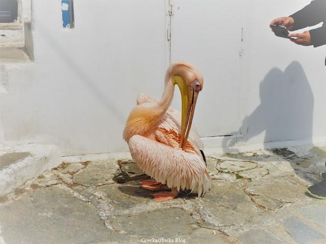 Petros Pelikan na ulicy w Chora Mykonos, Grecja