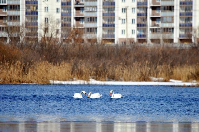 Лебеди в Челябинске