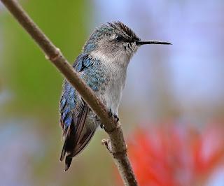 Kolibri burung kecil penghisap madu