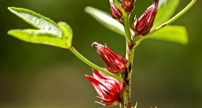 Ini Dia Efek Samping Bunga Rosella Bagi Tubuh