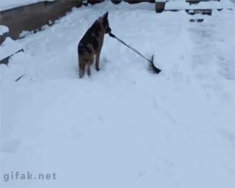 Pastor alemán sacando nieve con pala