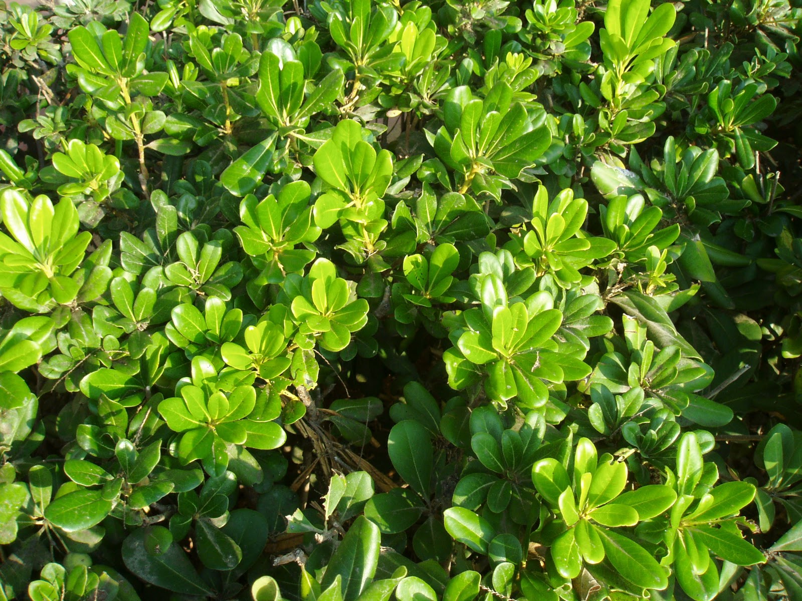 Pitosporo Pittosporum Tobira Plantas Riomoros
