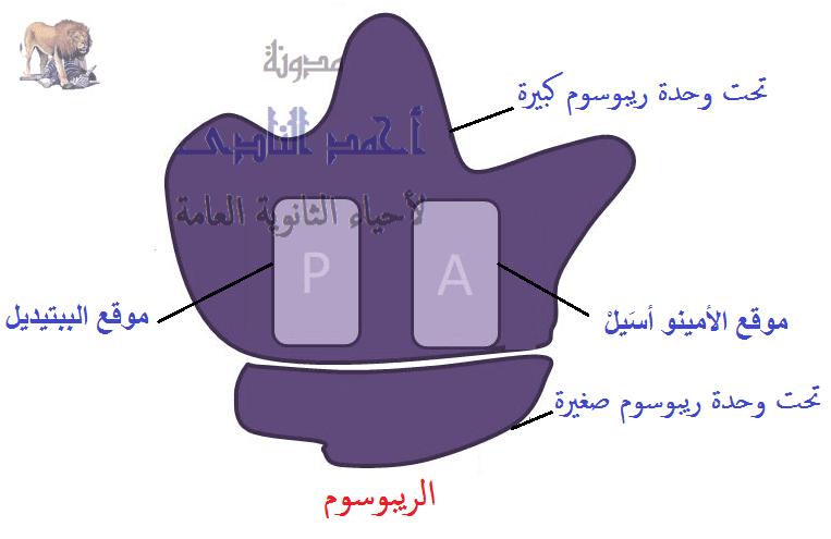 تخليق البروتين – أحياء الثالث الثانوى -  معقد بناء البروتين – الريبوسومات – T.RNA  -  M.RNA   تخليق البروتين – أحياء الثالث الثانوى -  معقد بناء البروتين – الريبوسومات –   تحت وحدة كبرى – تحت وحدة صغرى