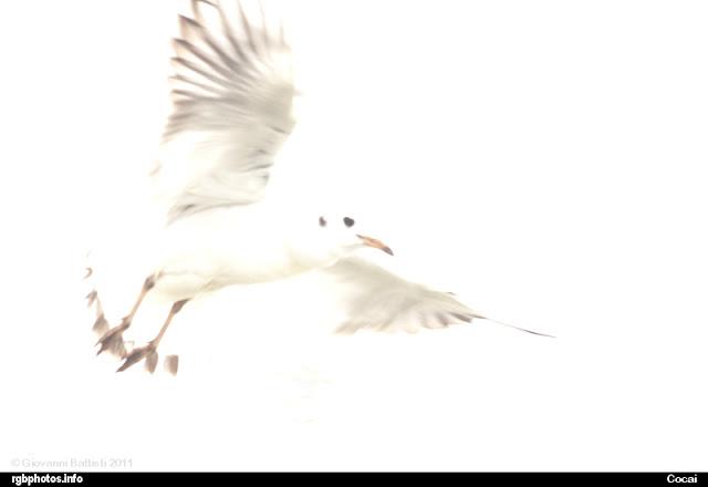 Fotografia di un gabbiano in volo