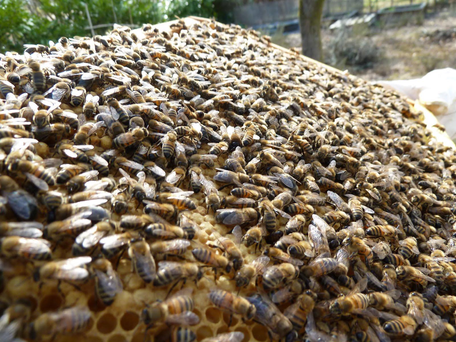 loque des abeilles