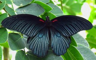 Mitos kupu kupu masuk rumah serta pertanda yang akan terjadi