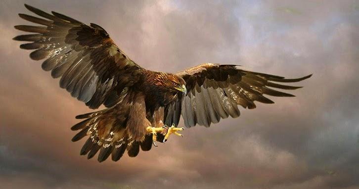Burung Elang Emas, Burung Arktik Paling Mematikan | Naviri Magazine