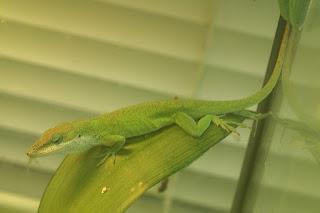Anole vert - Anolis carolinensis