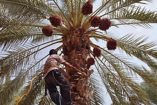 A young boy climbing a palm tree and picking the dates in Iran.