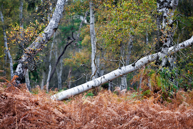 Atmospheric Holme Fen with a fallen silver birch tree over red ferns