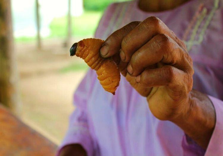 Kurçuk, Orta Afrika'da yaşayan insanların severek yedikleri bir canlı türüdür.