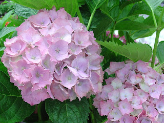 lilac hydrangeas - http://photography-passions.blogspot.com