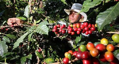 hombre recolectando el grano de cafè en el campo