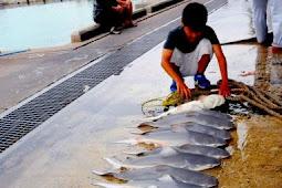 オオメジロザメお腹から16匹の子ザメ