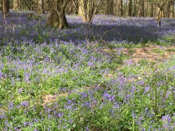 Bluebells in a Kent Wood