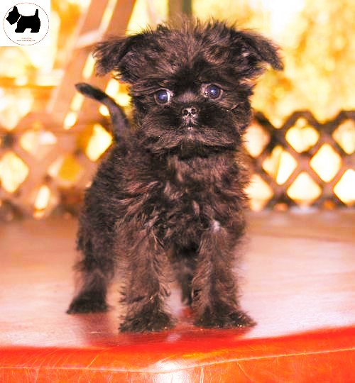 Cutest Dog Breeds, Best Dog, Affenpinscher Dog puppies