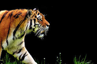 interesting facts about tiger, tiger facts, tiger facts in hindi, hindi tiger facts, amazing tiger facts, facts in hindi,टाइगर के बारे मे रोचक तथ्य।, बाघ मे तथ्य