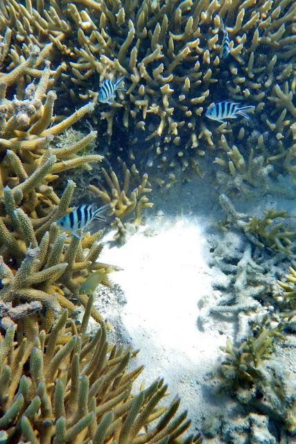 Heron Island Korallen Riff  Fische Coral Reef Fish