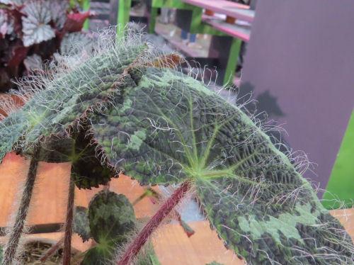 Philadelphia Flower Show 2019- begonia sizemoreae