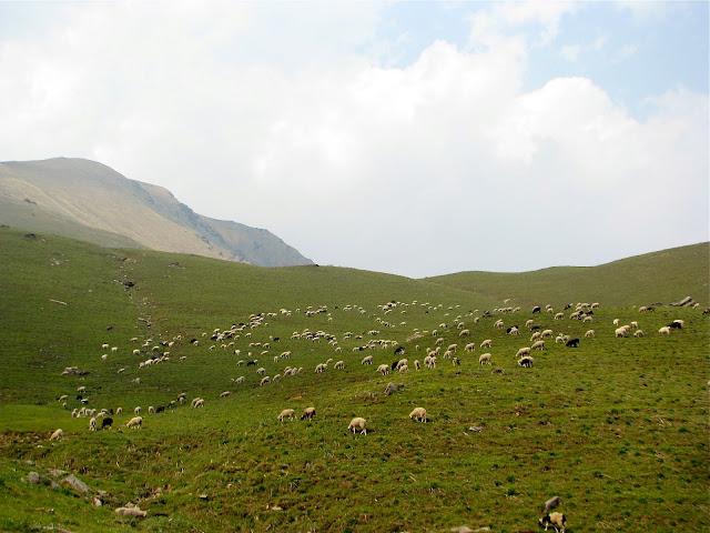 Sheep at Syari