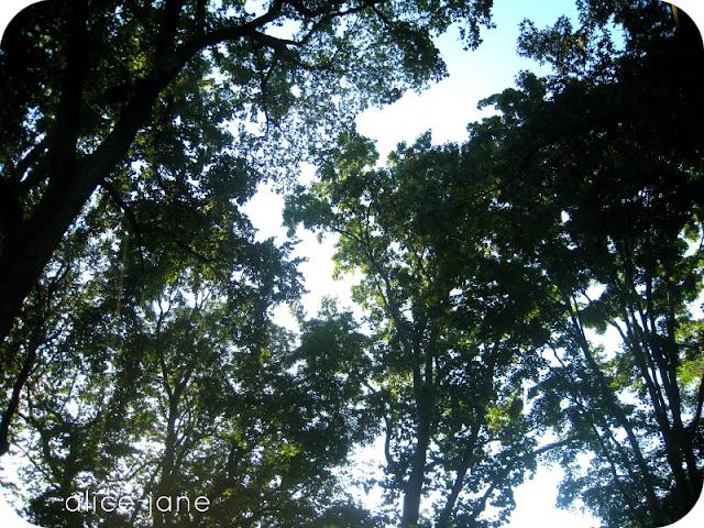 Trees Overhead on Princeton Campus