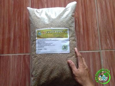 PETANI Subang, Jabar.   Pembeli Benih Padi CAKRABUANA 02 (CB02) 90 HST Panen