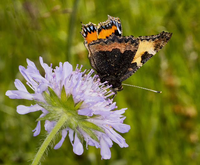 Small Tortoiseshell, Aglais urticae.  Lullingstone Country Park, 4 July 2016.