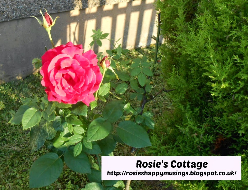 Rosie's roses in bloom
