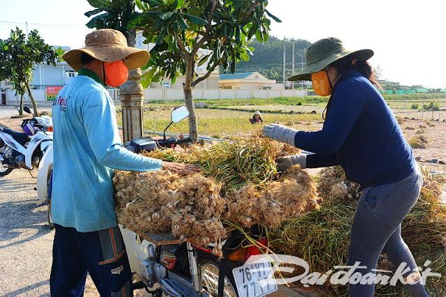 Người dân đảo Lý Sơn khẩn trương thu hoạch các diện tích tỏi.