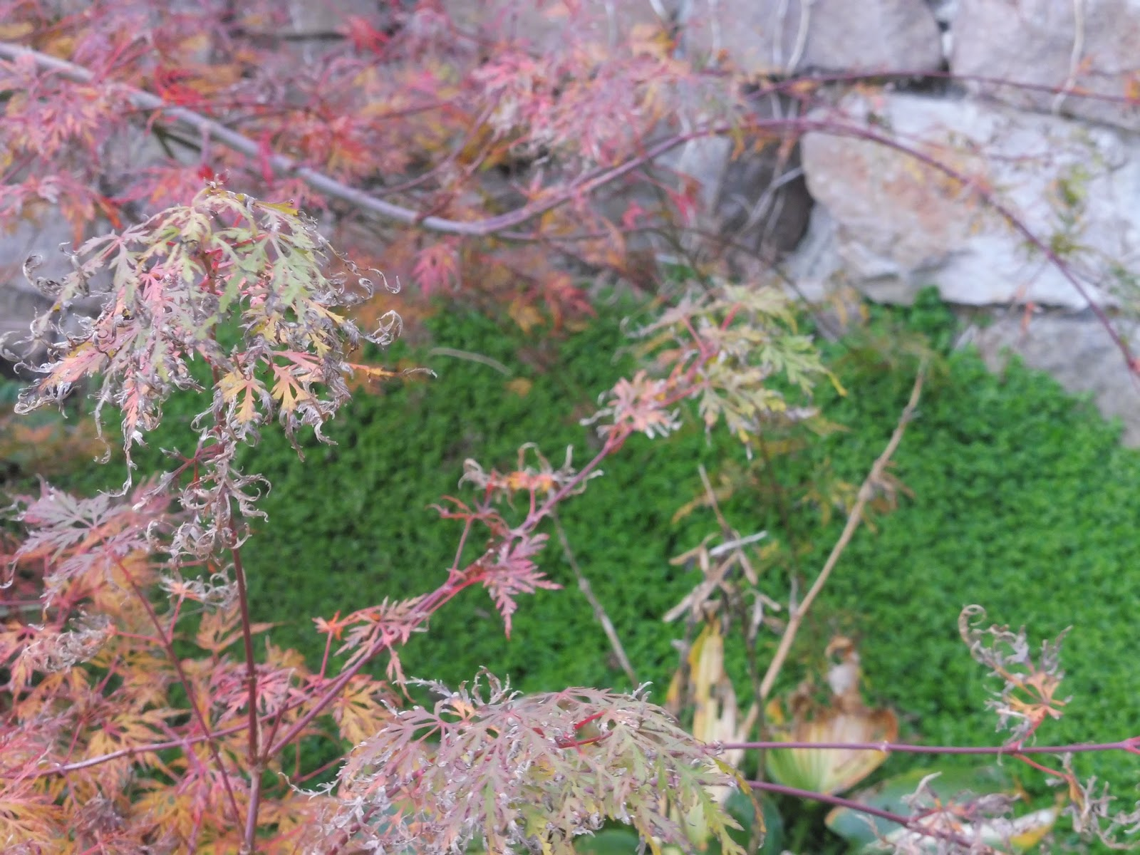 mon jardin entre terre et mer: DES NOUVELLES DU JARDIN JAPONAIS