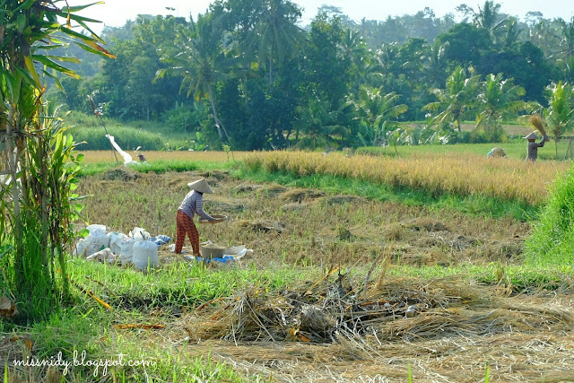 rice paddies in ubud bali
