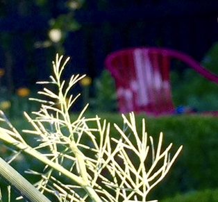 lacy, fine textured dill foliage with red chair in background