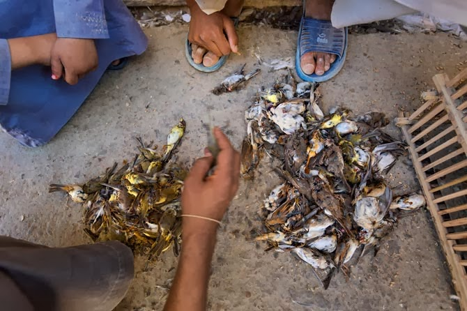 At the market in El Daba, dead songbirds are counted. Merchants sell both live and dead birds at specialty markets in towns along the coast. When customers purchase them live, the merchants kill and pluck them on the spot.