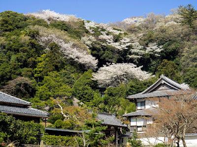 Yama-zakura (Prunus jamasakura) blossoms: Engaku-ji