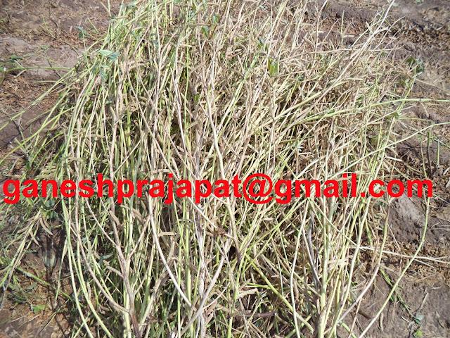 "ग्वार के भाव ; कमजोर आवक व स्टॉकिस्ट की लेवाली के कारण तेज़, Guar gum export,  guar gum news, NCDEX guar gum price, Guar gum report, guar seed production, guar gum consultant, guar seed export, guar gum export from india 2018-2019 , guar, guar gum, guar gum news, Guar gum export-2018-2019, Guar gum export-from India during 2018-2019, Guar gum export data -2018-2018 9, Guar gum rate , NCDEX guar gum price,  guar gum export-2018, guar gum export-2018, guar gum demand-2018, guar gum demand-2019, guar gum production, guar gum cultivation, guar gum cultivation consultancy, Guar, guar gum, guar price, guar gum price, guar demand, guar gum demand guar seed production, guar seed stock, guar seed consumption, guar gum cultivation, guar gum cultivation in india, Guar gum farming, guar gum export from india, Fundamentally Guar seed and guar gum are very strong , Guar, guar gum, guar price, guar gum price, guar demand, guar gum demand, guar seed production, guar seed stock, guar seed consumption, guar gum cultivation, guar gum cultivation in india, Guar gum farming, guar gum export from india , guar seed export, guar gum export, guar gum farming, guar gum cultivation consultancy, today guar price, today guar gum price, ग्वार, ग्वार गम, ग्वार मांग, ग्वार गम निर्यात 2018-2019, ग्वार गम निर्यात -2019, ग्वार उत्पादन, ग्वार कीमत, ग्वार गम मांग, guar seed, Guar Gum   Guarkernmehl, Guarkernmehl (Guar Samen) Anbau-Beratung in Deutschland, Guarkernmehl Samen (Cyamopsis tetragonoloba) Anbau / Landwirtschaft / Agrarwirtschaft Beratung in Deutschland, guat bhav in future, Gum seed production, Guma guar, Guma guar (nasiona Guar) uprawy Consultancy Polska,Türkiye ye Guar sakız (Guar tohum) tarım danışmanlığı, What does "" Crude Going Down "" means?, which rose for a third consecutive week ??, Why Guar seed and Guar Gum is going up ? Is it real of speculative ? Guar seed, Will Guar seed and Guar Gum prices, Will Guar seed and Guar gum prices improve with Global Crude oil prices, Wilt / Root Rot"