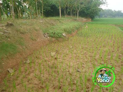 FOTO 3 : Tanam Padi TRISAKTI di Darat / Ladang atau Lahan Gogorancah
