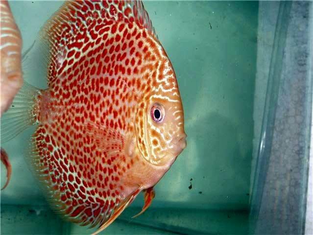 Jenis Ikan Discus Paling Mahal - Miniaquarium