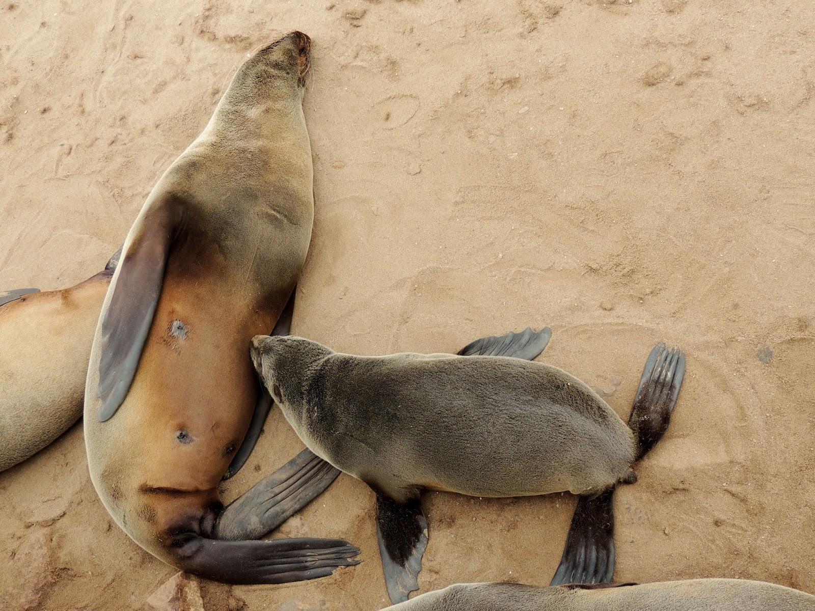 Catalogue Of Organisms Walruses Sea Lions And Fur Seals Harbor Seal Skeleton Diagram Skeletal Anatomy Marine Mammals Suckling South African Arctocephalus Pusillus Copyright Roburq