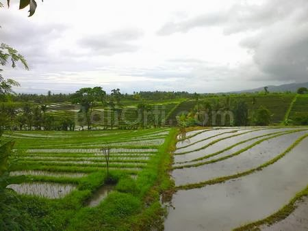 Rice planting season is currently in Bali