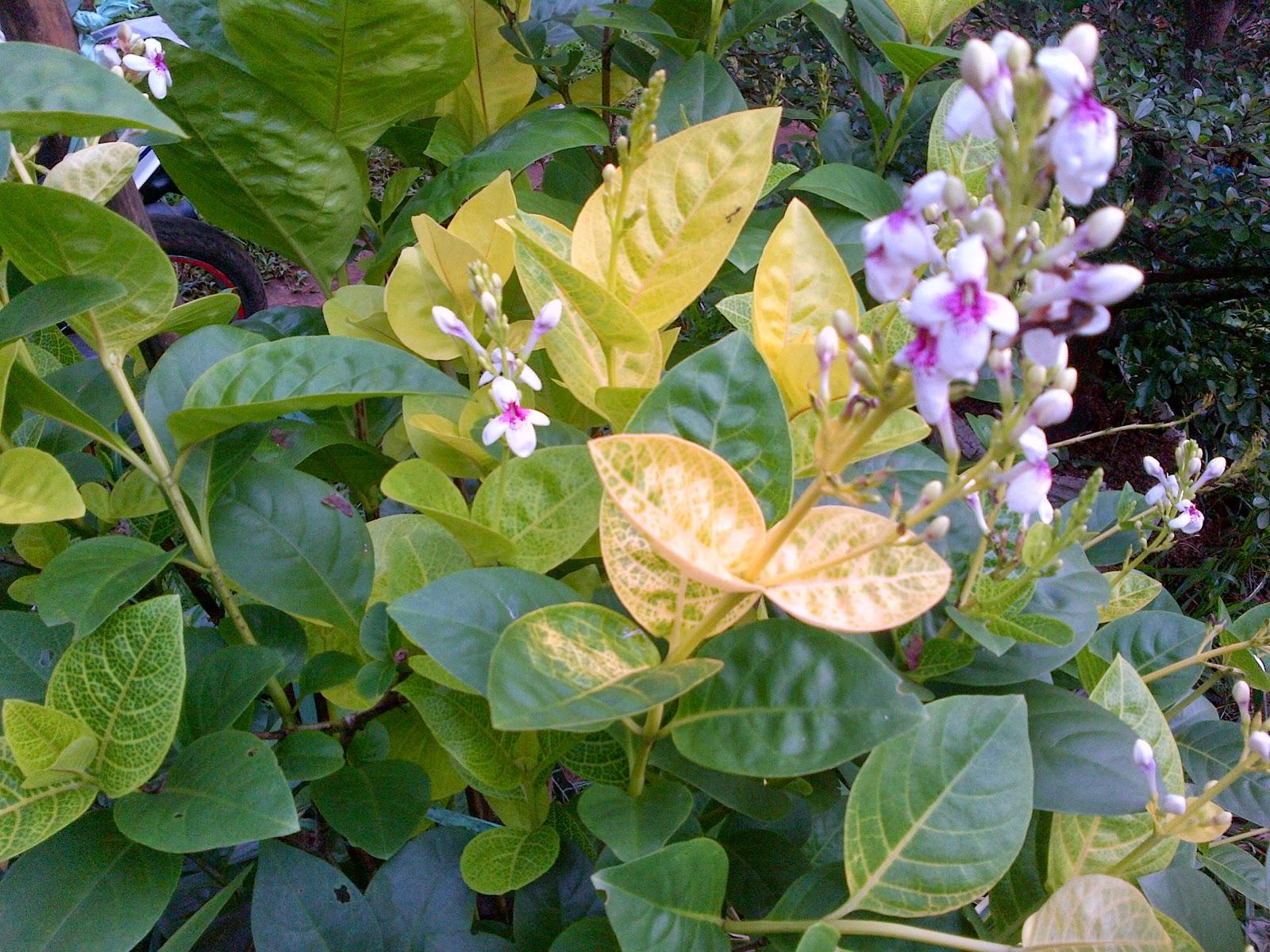 Jual aneka tanaman hias | tanaman perdu, pelindung, penutup tanah, pagar | supllier tanaman hias dan rumput taman