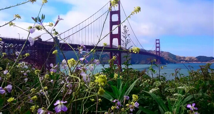 Pretty outlook of the Golden Gate Bridge through wild flowers