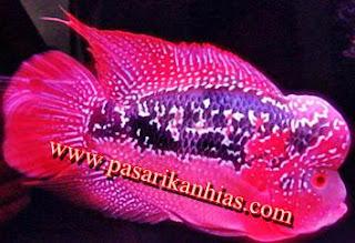 Harga Ikan Louhan Anakan Dan Dewasa