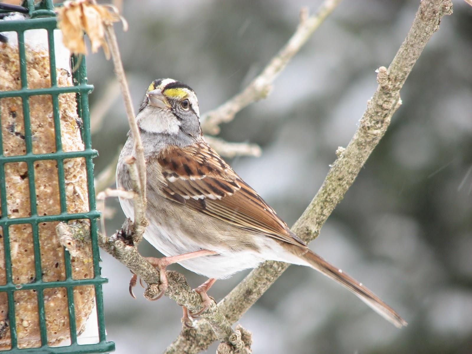south burlington birds white throated sparrow photos south
