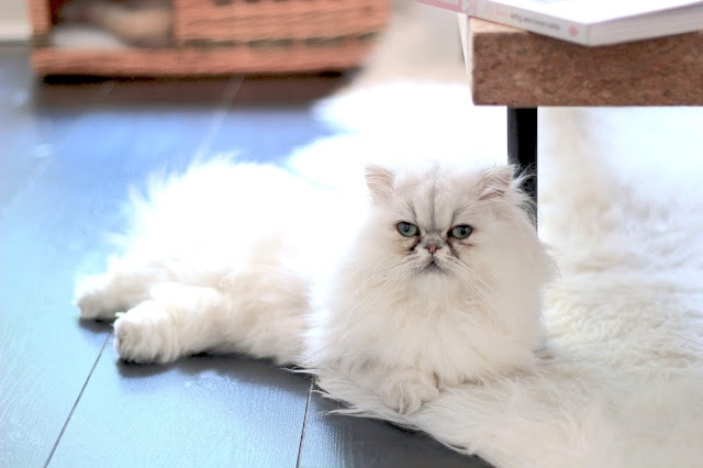 Fluffy White Cat Cheap and Fun Date Ideas