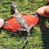 Ιπτάμενος Δράκος ανακαλύφτηκε στην Ινδονησία.