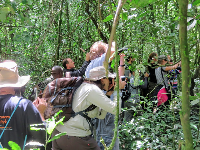 The paparazzi on the Chimpanzee Habituation Experience in Uganda's Kibale National Forest