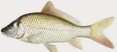 Umpan Mancing Ikan Mas Malam Hari Yang Ampuh jitu, ampuh, terbaru