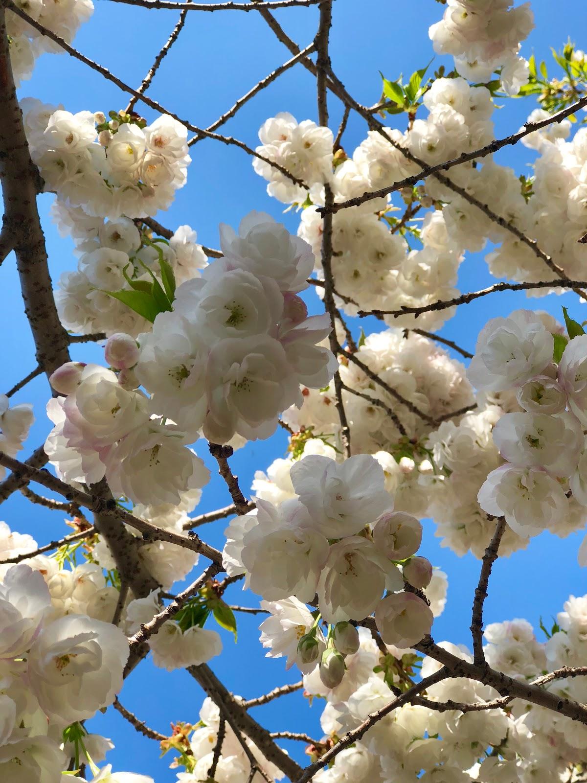 Flowers in Brooklyn Botanic Garden, Spring 2018, New York City, Photos by Jessica Marie Kelley