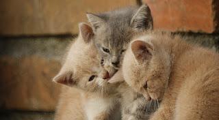 Pisica se freacă de tine sau te lovește cu capul